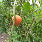 tomato ripening on the vine